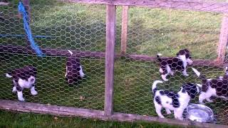 Kennel Club registered English Springer Spanies, email lmathews@tes...