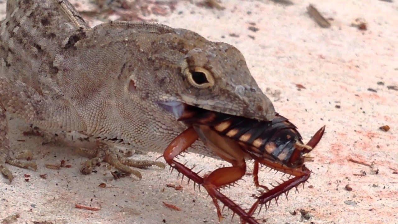 Lizards Eat Roaches Lizard Eats Roach