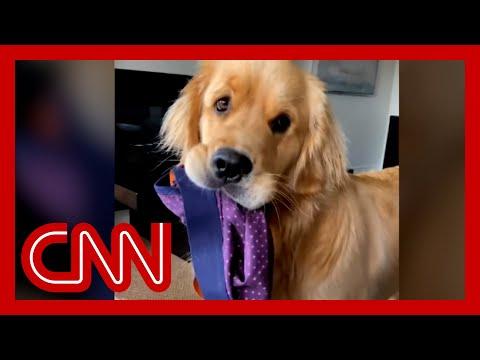 Golden retriever melts hearts as social media star