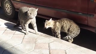 Cute Male Cats Fighting Reluctantly.