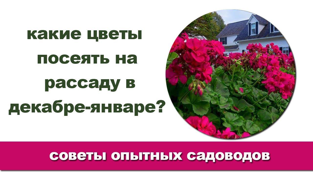 Какие цветы лучше сеять на рассаду в декабре-январе?