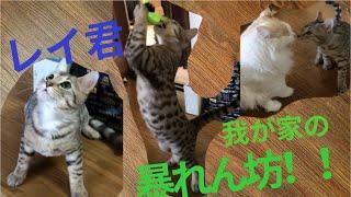 猫 #ベンガル #かわいい レイ君はいつもこんな感じで暴れてます! 足音もドスドスうるさいです。笑 ご視聴ありがとうございます!! またい...