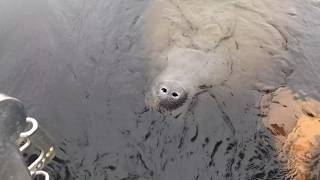 Lake griffin too friendly of a manatee. slightly longer video than another that i previously uploaded. finally figured out how to combine videos. the wat...