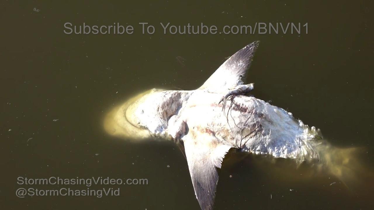 Red tide kills sharks and countless fish sarasota fl 8 for Tides 4 fishing sarasota