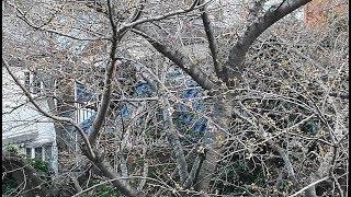 【桜速報】京王井の頭線 高井戸駅で桜開花 2019/3/21