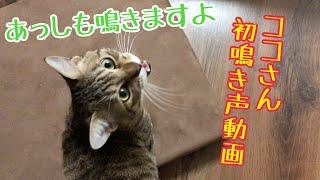 【猫 鳴き声】ココのかわいい鳴き声!きんたもしゃべるよ! thumbnail