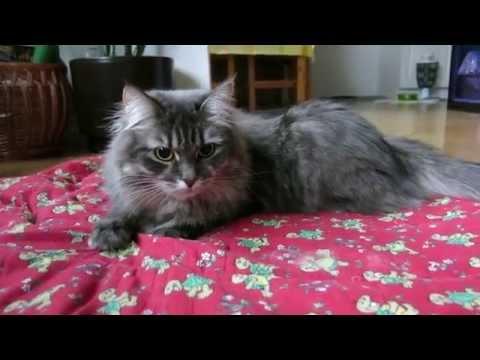 Siberian Cat Zalmiakki Playing on a Blanket