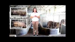 Choosing the Right Breed Type -Sukatan sa Pagpili ng Baboy- B-MEG Premium Hog Raising
