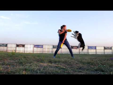 Training throws and pair tricks. dog frisbee