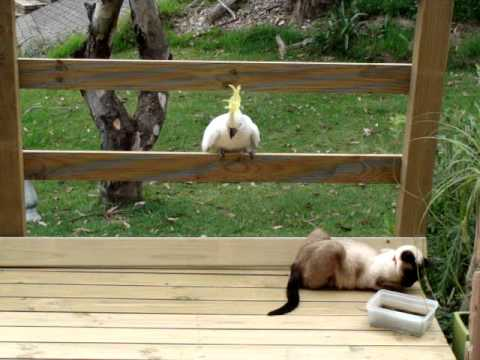 Cockatoo attacks cat