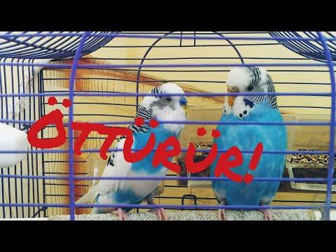 Kuş öttüren! Dinletin öttürün! Muhabbet kuşu sesi