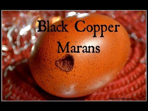 black-copper-marans-&-chocolate-eggs!-~