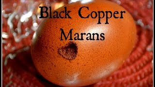 Black Copper Marans & Chocolate Eggs! ~