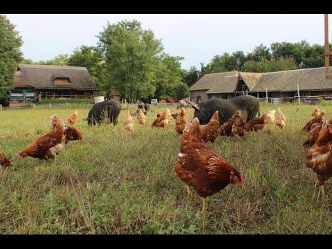 FREE-RANGE AND ORGANIC FARMING OF EGGS AND PORK ~ Isa Brown & Mangulitza