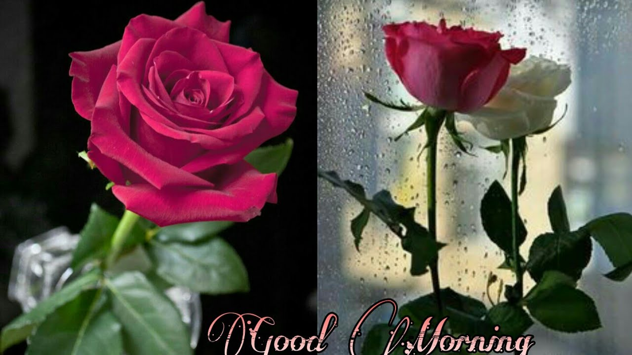 Good Morning Rose Image Good Morning Roses Pictures Good Morning Images With Rose Flowers Redrose Youtube