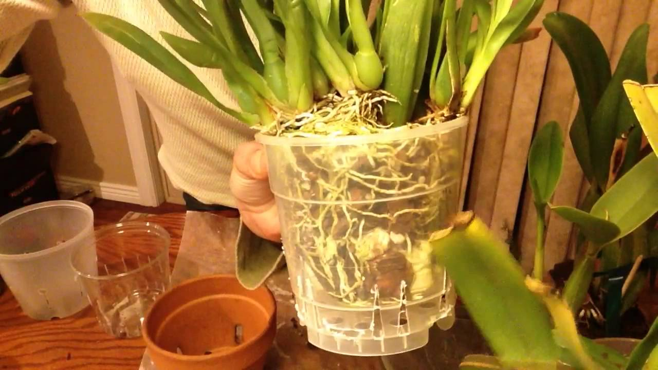 Repotting Orchids How To Choose The Right Pot Size Part 1 Sympodials
