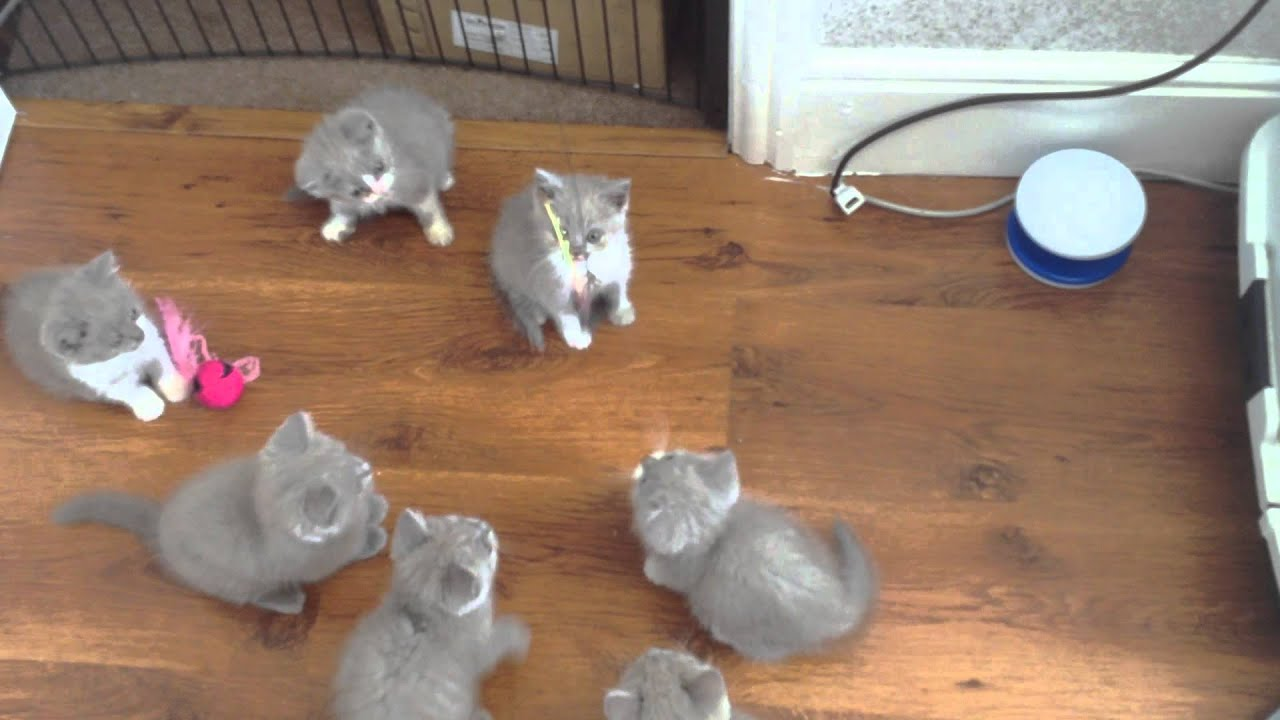 Solid Lilac and Lilac Bi Colour British Shorthair Kittens Meet The
