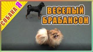 Веселый брабансон Собака я
