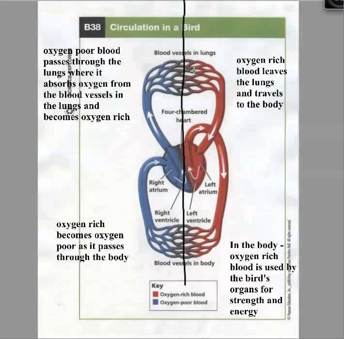 Bird Circulatory System - YouTube