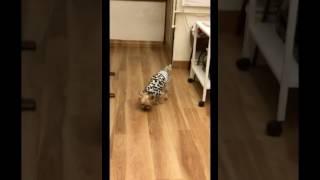 保護犬保護猫カフェ川西店、保護犬メンバーのマスオくんです(o^^o) 名前...