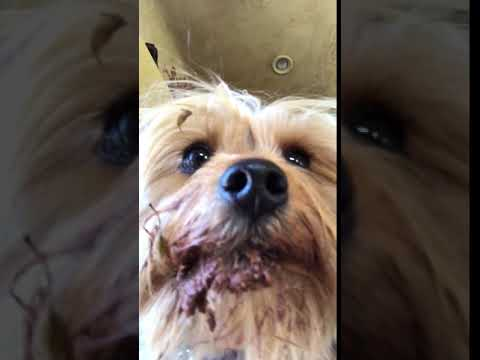 Bella The Yorkie Hunting For Lizards Youtube