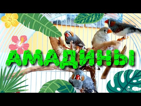 Птички амадины в домашних условиях