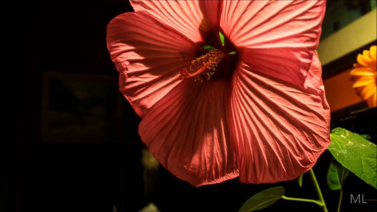 hibiscus xxl still time lapse youtube. Black Bedroom Furniture Sets. Home Design Ideas