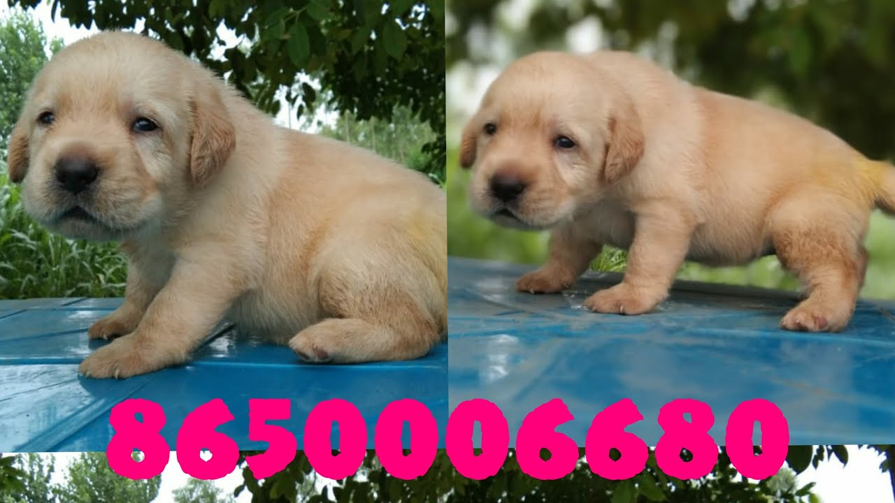 8650006680 Labrador Retriever Female Puppy Male Dehradun