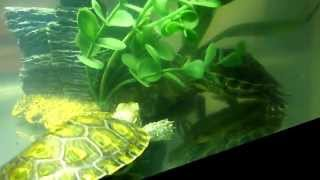 My Red Eared Slider Turtle Mating 7 Months Old