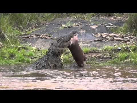 Bad Dog Cat Fights Alligator