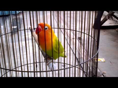 Lovebird Chrly ngekek panjang gaya bolak balik