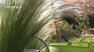 Comment planter la graminée Stipa : cheveux d