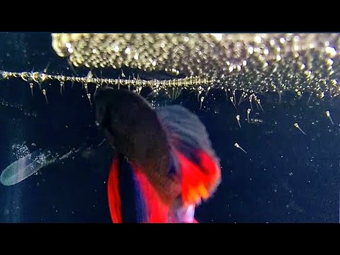 BETTA FISH EGGS HATCHING | double tail betta | fantastic