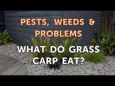 What Do Grass Carp Eat?