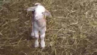 baby sheep, little lamb - soo cute!