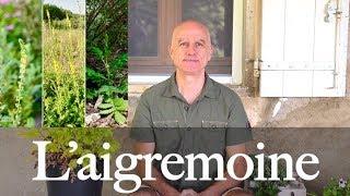 Aigremoine (Agrimonia eupatoria) : angines, calculs urinaires, insuffisance veineuse