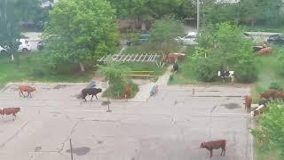 Коровы постригли газон во дворе дома в Советском районе Волгограда