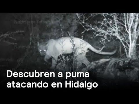Puma ataca ganado en Hidalgo - Naturaleza - En Punto con Denise Maerker