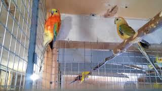 Попугаи Певчие,редкого окраса и природного.Обзор-начало сезона гнездование.