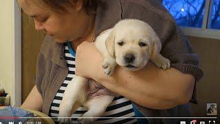 БЕЛЛА.Щенок ЛАБРАДОРА 20 дней.BELLA.Labrador puppy 20 days.Odessa.