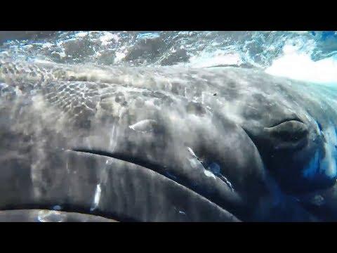 Hai will Taucher attackieren – dann taucht plötzlich ein Wal auf