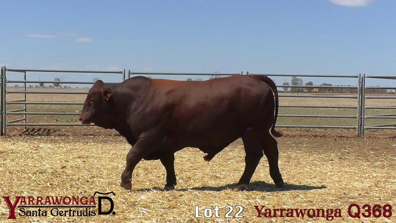 Download Clermont Santa Gertrudis Bull Sale 2020 - Lot 22 Yarrawonga Q368