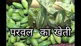 परवल की खेती करने का सरल तरीका/Parwal ka kheti