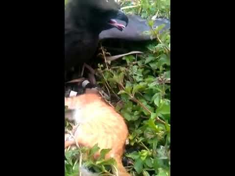 Hawk Eagle hunting - Đại bàng giết mèo