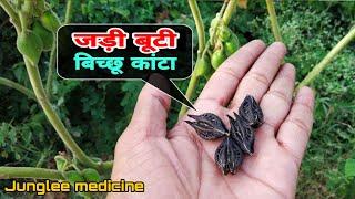 अदभुत और चमत्कारी जड़ीबूटी बिच्छू कांटा के फायदे और पहचान/martynia annua