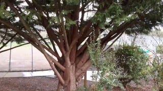 Leyland Cypress / Cupressocyparis leylandii