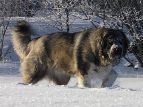 Russian Bear Dog Ovcharka | www.pixshark.com - Images Galleries With A Bite!