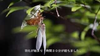 幼虫は地中で5年を過ごしたのち、地上に出てきて成虫のセミに羽化します...
