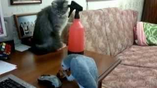 Попугай жако нападает на кошку