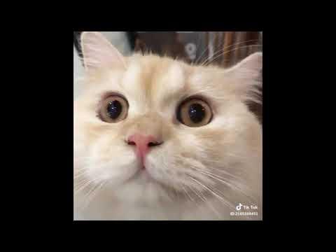 TikTok - cute cats chinese #1